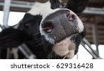 holstein cows in the barn | Shutterstock . vector #629316428