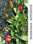 Row Of Tulips With Muscari In...