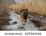 german shepherd walking towards ... | Shutterstock . vector #629364146