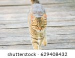tabby cat walking on a wooden... | Shutterstock . vector #629408432