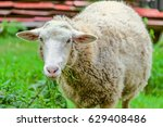 adult large sheep eats green... | Shutterstock . vector #629408486