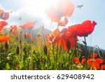 Wild Red Poppies On The Meadow...