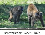 Two Olive Baboon Males Fighting