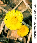 Small photo of Coltsfoot (Tussilago farfara) flowering among decomposing leaves from last year.