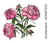 pink peony flowers. bouquet of ... | Shutterstock . vector #629487152