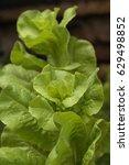 organic lettuce plants   Shutterstock . vector #629498852