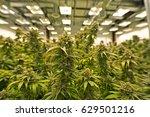 commercial marijuana grow... | Shutterstock . vector #629501216
