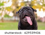 funny face of pug dog with...   Shutterstock . vector #629539436