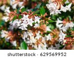 Small photo of Abelia x grandiflora flower