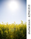 Canola crops glow beneath a hot sun in Australia - stock photo