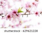 pink peach blossom | Shutterstock . vector #629621228