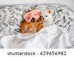 Stock photo cute funny red pomeranian female puppy lying on back in sleeping mask together with chihuahua male 629656982