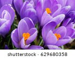 Small photo of In the spring the first tender lilac crocuses blossomed, saffron - a symbol of hope and happiness.