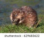 the muskrat  ondatra zibethicus ... | Shutterstock . vector #629683622