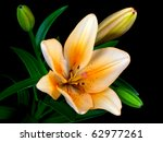 Single Lily With Three Buds An...