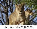 female lion looking on in... | Shutterstock . vector #62985985