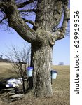 Small photo of Maple tree with sap collecting buckets.