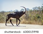 Sable Antelope In Kruger...