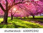 Cherry Tree Blossom Explosion...
