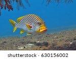 Yellow Curious Sweetlip Fish...