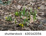 snowdrops growing and flowering ... | Shutterstock . vector #630162056