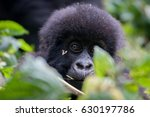 Baby Gorilla In The Volcanoes...