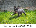 french bulldog puppy  know as... | Shutterstock . vector #630215936