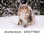 Norwegian Forest Cat Female...