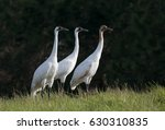 standing tall   a whooping... | Shutterstock . vector #630310835