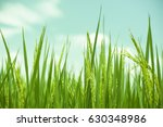 rice field   Shutterstock . vector #630348986