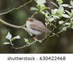 willow warbler  phylloscopus... | Shutterstock . vector #630422468