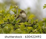 willow warbler  phylloscopus... | Shutterstock . vector #630422492