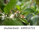 bee pollinating a guava flower | Shutterstock . vector #630511712