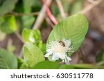 bee pollinating a guava flower | Shutterstock . vector #630511778