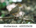 beautiful bird puff throated... | Shutterstock . vector #630535658