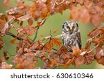 boreal owl  aegolius funereus ... | Shutterstock . vector #630610346