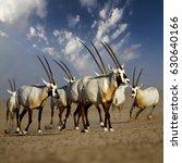 oryx group in desert  united... | Shutterstock . vector #630640166
