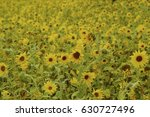field filled with blooming... | Shutterstock . vector #630727496