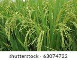 Ripening Rice Field.
