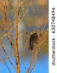 Small photo of Female Red-winged blackbird (Agelaius phoeniceus) perching in a branch in springtime