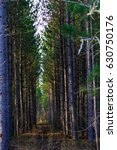 tall wisconsin pine trees lined ... | Shutterstock . vector #630750176
