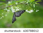 A Close Up Butterfly With Blac...