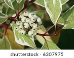White berries of Cornus Alba Sibirica Variegata. - stock photo