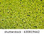 Duckweed. Green Duckweed...