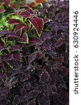 Small photo of Close up of coleus flowers. Background
