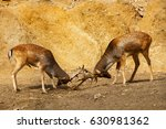 fighting for dominance spotted... | Shutterstock . vector #630981362