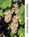 Small photo of Eguisheim, Alsace, France - September, 2015: Gewurztraminer white wine grapes ready to be harvested.