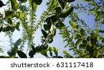 green leaves against the sky | Shutterstock . vector #631117418