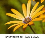 African Daisy Reaching For The...