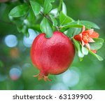 Ripe Pomegranate On The Branch...